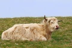 Dexter Highland Cow Stock Photo
