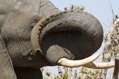 Dexterous African Elephant trunk. Royalty Free Stock Photography