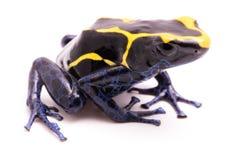 Deying毒物箭青蛙在白色的Dendrobates auratus 库存照片