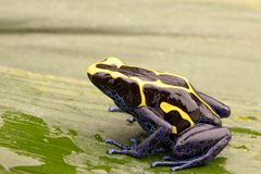 Deying poison dart frog Dendrobates tinctorius royalty free stock image