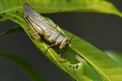 Deze dierlijke insecten die in bomen leven worden genoemd grijs-bruine houten sprinkhanen stock afbeeldingen