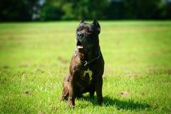 Deze hond is Bandog Stock Fotografie