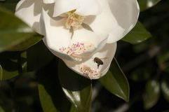 Deze Magnoliabloem heeft een Honingbij die binnen in Stamens vliegen te rollen royalty-vrije stock afbeelding