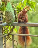 Deze roodbruine eekhoorn komt elke ochtend in de wintertijd aan dit balkon in het midden van de stad van Berlijn - Duitsland, omd Royalty-vrije Stock Afbeeldingen