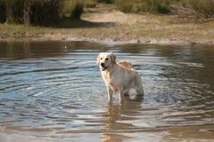 Dg,金毛猎犬,站立在水中 库存照片