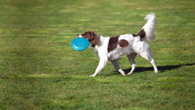 Dg walking with a disc in his mouth. A dog walking on the grass with a disc in his mouth Royalty Free Stock Image