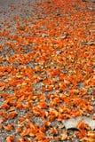 Dhak blomma. Fotografering för Bildbyråer