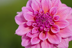 dhalia花园 免版税库存图片