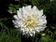 Dhalia в саде Стоковые Изображения RF