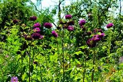 Dhalia Цветок в саде Стоковые Изображения RF