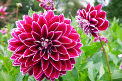 Dhalia blomma Arkivbild