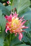 Dhalia en jardín Fotografía de archivo