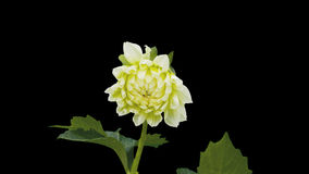 Dhalia flower blossom timelapse cut out stock video