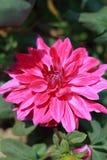 Dhalia Flower. Close up of Dhalia flawer Stock Photos