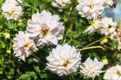 Dhalia flowers Royalty Free Stock Images