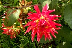 Dhalia in garden 3. Nice flower Dhalia blooming in the garden in mid spring. Image enchanting beauty of nature stock photo