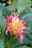 Dhalia in garden. Nice flowers of Dhalia blooming in the garden in mid spring. Image enchanting beauty of nature stock photography