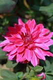 Dhalia kwiat Zdjęcia Stock