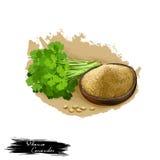 Dhania - illustration numérique d'art d'herbe ayurvedic de coriandre avec le texte d'isolement sur le blanc Usine organique saine Photographie stock