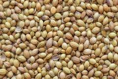 Dhaniya of Koriander geheel droog kruid, close-up stock afbeeldingen