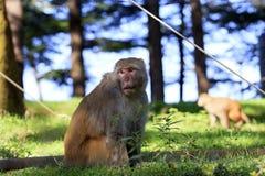 从Dharamshala的印地安猴子。 免版税库存照片