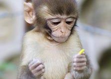 从Dharamshala镇的猴子婴孩。 免版税图库摄影