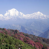 Dhaulagiri berg med rhododendron, Himalaya Royaltyfri Bild