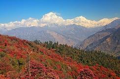 Dhaulagiri Peak Rhododendrons Stock Image