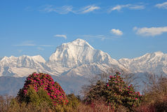 Dhaulagiri Peak Rhododendrons Stock Photos