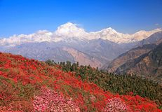 Dhaulagiri Peak Spring. Greatness of nature. Blooming rhododendron grove on the background of the snow Dhaulagiri peak 8167 m in the Himalayas, Nepal royalty free stock image