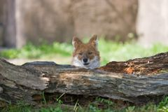 Dhole Imagens de Stock Royalty Free