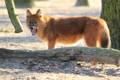 Dhole Stock Photos