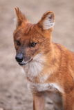 Dhole. The detail of sitting dhole Royalty Free Stock Photo