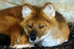 Dhole Royalty Free Stock Photos