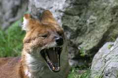 Dhole Stock Images