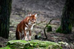 Dhole (alpinus de Cuon) Photo libre de droits