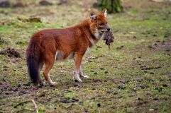 Dhole (alpinus do Cuon) Imagem de Stock Royalty Free