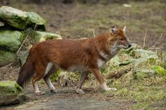 Dhole (alpinus do Cuon) Fotografia de Stock Royalty Free
