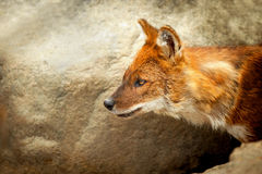 Dhole or Asiatic wild dog portrait Royalty Free Stock Photography