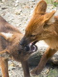 Dhole (Cuon alpinus) Stock Photography