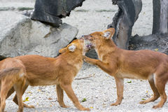 Dhole (Cuon alpinus) Stock Photo