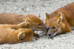 Dhole (Cuon alpinus) Stock Photos