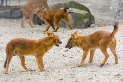 Dhole (Cuon alpinus) Stock Images