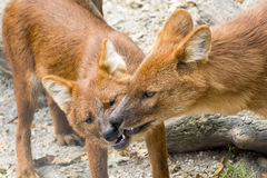 Dhole (Cuon alpinus) Royalty Free Stock Photos
