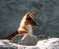 Dhole Royalty Free Stock Image