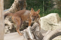Dhole - Cuon alpinus lepturus Stock Photo