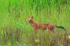 Dhole in der Natur Lizenzfreies Stockfoto