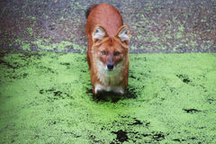 Dhole royalty free stock photography