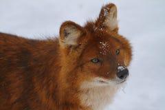 Dhole i snön Royaltyfri Fotografi