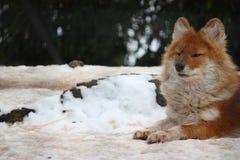 Dhole im Schnee Lizenzfreie Stockfotografie